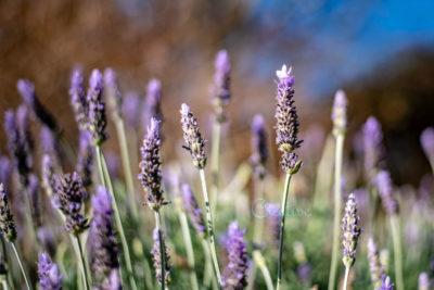 lavender_1500px